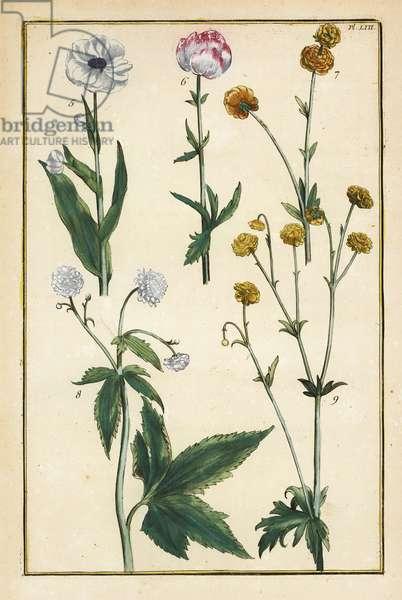 Globe flower, Trollius europaeus, and other species of buttercups, Ranunculus glacialis, etc