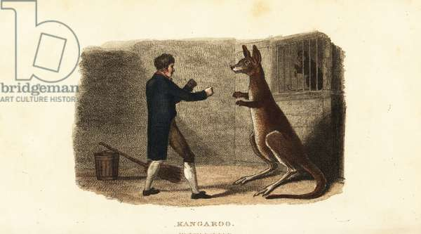 Zookeeper boxing a male kangaroo at the Exeter Exchange zoo, London, 1806