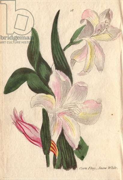 Snow-white cornflag, Gladiolus blandus (var. B)
