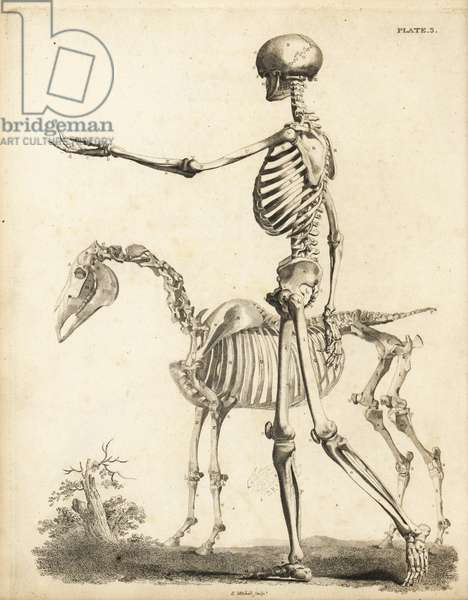 Side view of human skeleton and horse skeleton. Copperplate engraving by Edward Mitchell after anatomical illustrations by Bernhard Siegfried Albinus and George Stubbs from John Barclay's A Series of Engravings of the Human Skeleton, MacLachlan and Stewart, Edinburgh, 1824.
