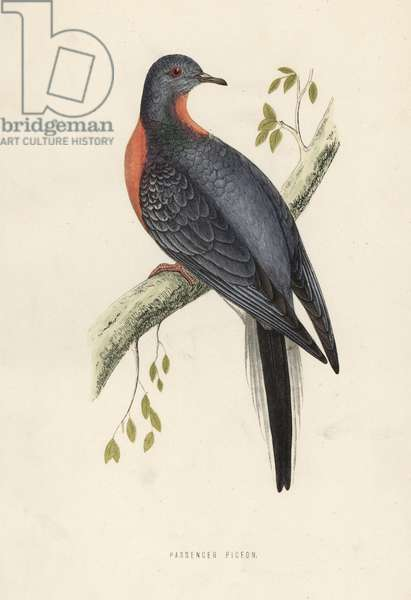 Passenger pigeon or wild pigeon, Extinct - Handcoloured woodblock print by Benjamin Fawcett from Francis Orpen Morris' History of British Birds, Bell & Daldy, London, 1857