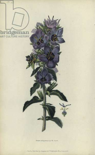 """Rough bellflower, Campanula peregrina. Handcoloured botanical illustration drawn and engraved by William Clark from Richard Morris's """"Flora Conspicua"""" London, Longman, Rees, 1826. William Clark was former draughtsman to the London Horticultural Society and illustrated many botanical books in the 1820s and 1830s."""