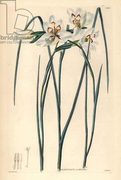 Glaieul - Little painted lady, Gladiolus debilis (spoon-lipped corn-flag, Gladiolus cochleatus). Handcoloured copperplate engraving by Weddell after Edwin Dalton Smith from John Lindley and Robert Sweet's Ornamental Flower Garden and Shrubbery, G. Willis, London, 1854.