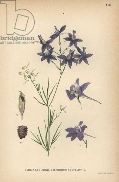 Royal knight's-spur or forking larkspur, Consolida regalis