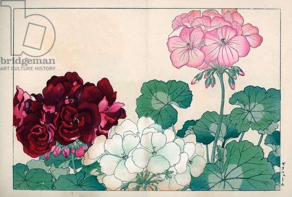 "Varieties of zonal geranium. Geraniums, Pelargonium x hortorum. Handcoloured woodblock print from Konan Tanigami's """" Seiyou Sokazufu"""" (Pictorial Album of Western Plants and Flowers: Autumn Winter), Unsodo, Kyoto, 1917. Tanigami (1879-1928) depicted 125 varieties of garden plants through the four seasons."