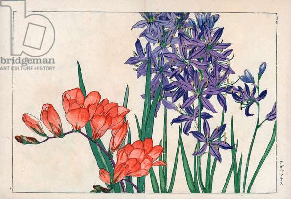 """Agapanth or lily of the Nile (blue) and freesia. African lily, Agapanthus africanus, and freesia, Freesia refracta. Handcoloured woodblock print from Konan Tanigami's """""""" Seiyou Sokazufu"""""""" (Pictorial Album of Western Plants and Flowers: Spring), Unsodo, Kyoto, 1917. Tanigami (1879-1928) depicted 125 varieties of garden plants through the four seasons."""