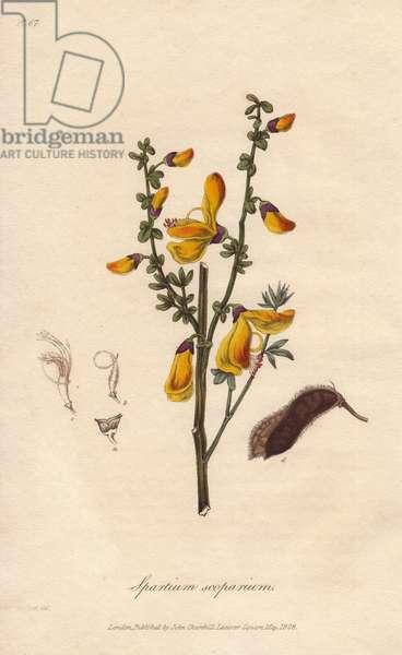 Common broom tree, Cytisus scoparius