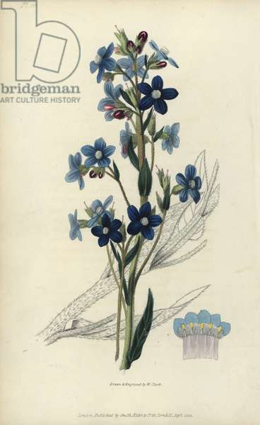 """Italian bugloss, Anchusa azurea. Handcoloured botanical illustration drawn and engraved by William Clark from Richard Morris's """"Flora Conspicua"""" London, Longman, Rees, 1826. William Clark was former draughtsman to the London Horticultural Society and illustrated many botanical books in the 1820s and 1830s."""