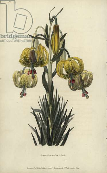 """Turban or pomponian lily, Lilium pomponium. Handcoloured botanical illustration drawn and engraved by William Clark from Richard Morris's """"Flora Conspicua"""" London, Longman, Rees, 1826. William Clark was former draughtsman to the London Horticultural Society and illustrated many botanical books in the 1820s and 1830s."""