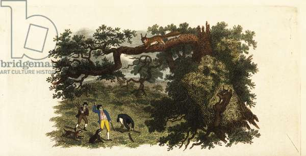 American settlers throwing sticks at grey squirrels in trees, 18th century