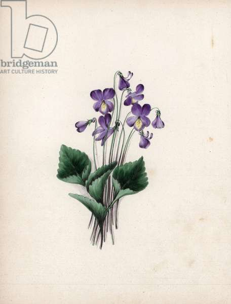 "Wild Violet, Viola cucullata. Illustration by Clarissa Badger (nee Munger, 1806-1889), lithography published in ""Wildflowers, dessinees et mises en couleur par la nature"", New York (USA), 1859."