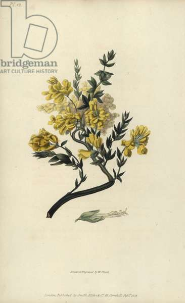 """Triangular genista, Genista triquetra. Handcoloured botanical illustration drawn and engraved by William Clark from Richard Morris's """"Flora Conspicua"""" London, Longman, Rees, 1826. William Clark was former draughtsman to the London Horticultural Society and illustrated many botanical books in the 1820s and 1830s."""