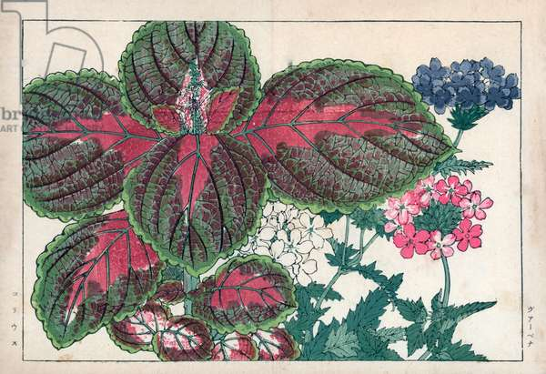 """Verbena and old boy plant with ornamental leaves. Vervain, Verbena officinalis, and coleus, Solenostemon scutellarioides. Handcoloured woodblock print from Konan Tanigami's """""""" Seiyou Sokazufu"""""""" (Pictorial Album of Western Plants and Flowers: Summer), Unsodo, Kyoto, 1917. Tanigami (1879-1928) depicted 125 varieties of garden plants through the four seasons."""