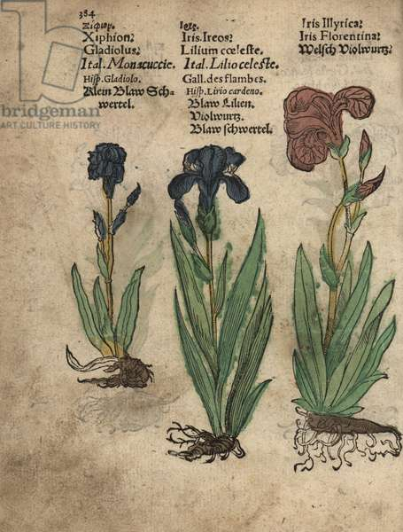 Gladiolus, Gladiolus communis, German iris, Iris germanica, and Florentine iris, Iris florentina. Handcoloured woodblock engraving of a botanical illustration from Adam Lonicer's Krauterbuch, or Herbal, Frankfurt, 1557. This from a 17th century pirate edition or atlas of illustrations only, with captions in Latin, Greek, French, Italian, German, and in English manuscript.