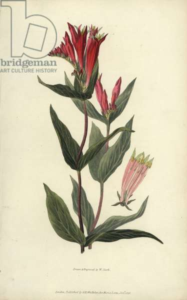"""Indian pink, Spigelia marilandica. Handcoloured botanical illustration drawn and engraved by William Clark from Richard Morris's """"Flora Conspicua"""" London, Longman, Rees, 1826. William Clark was former draughtsman to the London Horticultural Society and illustrated many botanical books in the 1820s and 1830s."""