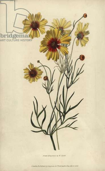 """Plains coreopsis or calliopsis, Coreopsis tinctoria. Handcoloured botanical illustration drawn and engraved by William Clark from Richard Morris's """"Flora Conspicua"""" London, Longman, Rees, 1826. William Clark was former draughtsman to the London Horticultural Society and illustrated many botanical books in the 1820s and 1830s."""