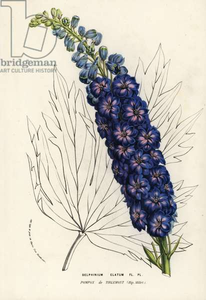 Candle larkspur variety, Tirlemont Pompon, Delphinium elatum. Handcoloured lithograph from Louis van Houtte and Charles Lemaire's Flowers of the Gardens and Hothouses of Europe, Flore des Serres et des Jardins de l'Europe, Ghent, Belgium, 1857.