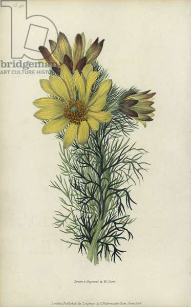 """Spring pheasant's eye, Adonis vernalis. Handcoloured botanical illustration drawn and engraved by William Clark from Richard Morris's """"Flora Conspicua"""" London, Longman, Rees, 1826. William Clark was former draughtsman to the London Horticultural Society and illustrated many botanical books in the 1820s and 1830s."""