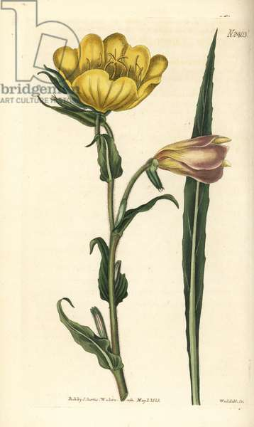 Sweet-scented oenothera, Oenothera odorata. Handcoloured copperplate engraving by Weddell after a botanical illustration from William Curtis' Botanical Magazine.