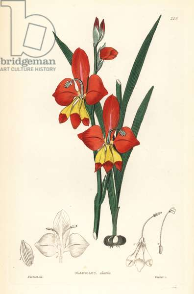 Glaieul - Winged-flowered cornflag, Gladiolus alatus. Handcoloured copperplate engraving by Weddell after Edwin Dalton Smith from John Lindley and Robert Sweet's Ornamental Flower Garden and Shrubbery, G. Willis, London, 1854.