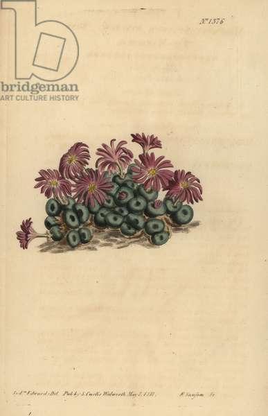 Conophytum minutum (Tiny fig-marigold, Mesembryanthemum minutum)
