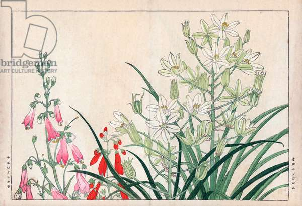 """Star of Bethleem and orchid chelonanthera. White star of bethlehem, Ornithogalum arabicum, and chelonanthera orchid. Handcoloured woodblock print from Konan Tanigami's """""""" Seiyou Sokazufu"""""""" (Pictorial Album of Western Plants and Flowers: Spring), Unsodo, Kyoto, 1917. Tanigami (1879-1928) depicted 125 varieties of garden plants through the four seasons."""