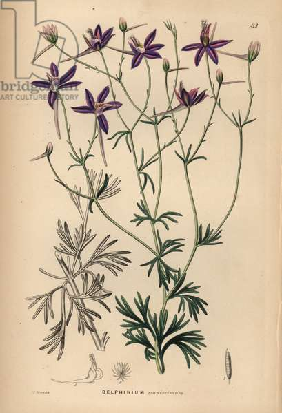 Dauphinelle grele - Larkspur, Consolida tenuissima (Slender-branched delphinium, Delphinium tenuissimum). Handcoloured copperplate engraving after J.T. Hart from John Lindley and Robert Sweet's Ornamental Flower Garden and Shrubbery, G. Willis, London, 1854.