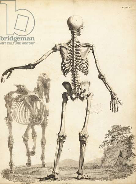 Human skeleton from the rear, with horse skeleton by George Stubbs. Copperplate engraving by Edward Mitchell after an anatomical illustration by Bernhard Siefried Albinus from John Barclay's A Series of Engravings of the Human Skeleton, MacLachlan and Stewart, Edinburgh, 1824.