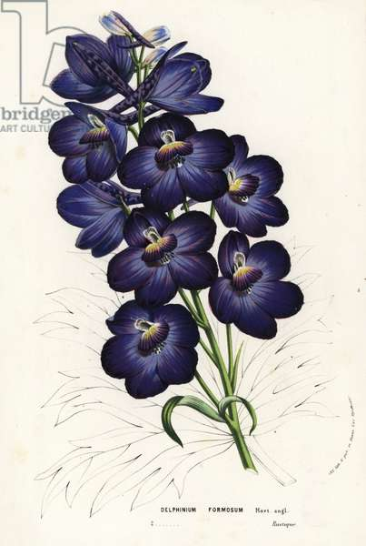 Larkspur hybrid, Delphinium formosum. Handcoloured lithograph from Louis van Houtte and Charles Lemaire's Flowers of the Gardens and Hothouses of Europe, Flore des Serres et des Jardins de l'Europe, Ghent, Belgium, 1857.