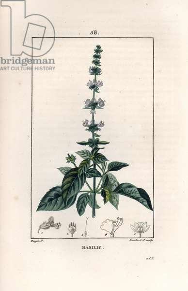 """Basil - Engraving by Lambert fils, based on a drawing by Pierre Jean Francois Turpin (1775-1840), from La flore medicale, de Chaumeton, Poiret et Chamberet, Paris 1830 - Basil, Ocimum basilicum - Engraving by Lambert Junior from a drawing by P - J - F - Turpin from Chaumeton, Poiret et Chamberet's """"La Flore Medicale,"""" Paris, Panckoucke, 1830 -"""