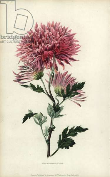 """Starry purple Chinese chrysanthemum, Chrysanthemum sinense purpurascens. Handcoloured botanical illustration drawn and engraved by William Clark from Richard Morris's """"Flora Conspicua"""" London, Longman, Rees, 1826. William Clark was former draughtsman to the London Horticultural Society and illustrated many botanical books in the 1820s and 1830s."""