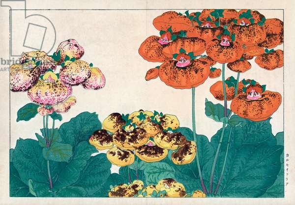 """Calceolaire, or little slipper. Calceolaria, Lady's purse, Slipper or Pocketbook flower. Handcoloured woodblock print from Konan Tanigami's """""""" Seiyou Sokazufu"""""""" (Pictorial Album of Western Plants and Flowers: Spring), Unsodo, Kyoto, 1917. Tanigami (1879-1928) depicted 125 varieties of garden plants through the four seasons."""
