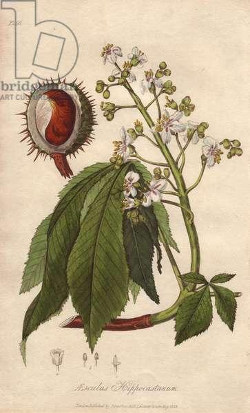 Horse-chestnut or conker tree, Aesculus hippocastanum