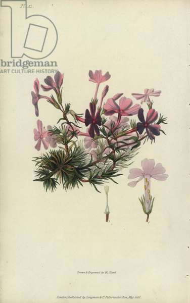 """Bristly lychnidea, Phlox setacea. Handcoloured botanical illustration drawn and engraved by William Clark from Richard Morris's """"Flora Conspicua"""" London, Longman, Rees, 1826. William Clark was former draughtsman to the London Horticultural Society and illustrated many botanical books in the 1820s and 1830s."""