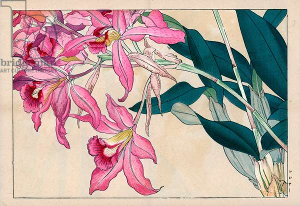 """Orchidee Laelia. Laelia speciosa, Mayflower orchid. Handcoloured woodblock print from Konan Tanigami's """""""" Seiyou Sokazufu"""""""" (Pictorial Album of Western Plants and Flowers: Autumn Winter), Unsodo, Kyoto, 1917. Tanigami (1879-1928) depicted 125 varieties of garden plants through the four seasons."""