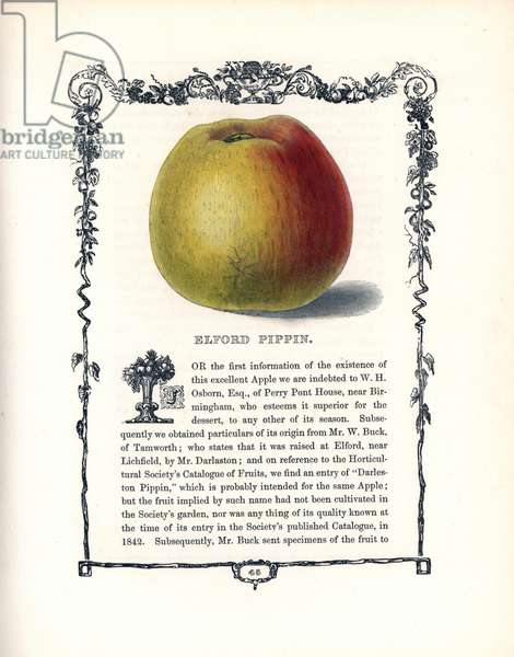 "Apple elford pippin. Lithograph by Benjamin Maund (1790-1863) published in The Fruitist, London, England, 1850. Elford Pippin apple, Malus domestica, within a Della Robbia ornamental frame with text below. Handcoloured glyphograph from Benjamin Maund's """" The Fruitist,"""" London, 1850, Groombridge and Sons."