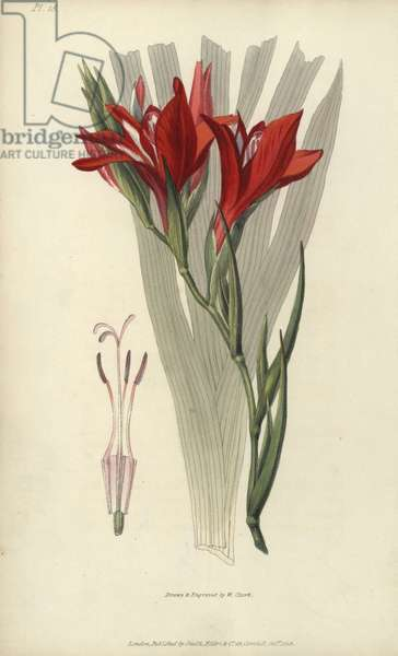 """Superb corn flag, Gladiolus cardinalis. Handcoloured botanical illustration drawn and engraved by William Clark from Richard Morris's """"Flora Conspicua"""" London, Longman, Rees, 1826. William Clark was former draughtsman to the London Horticultural Society and illustrated many botanical books in the 1820s and 1830s."""