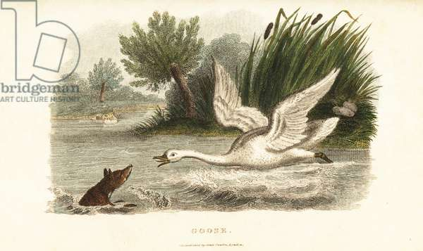Female swan drowning a fox to protect her nest