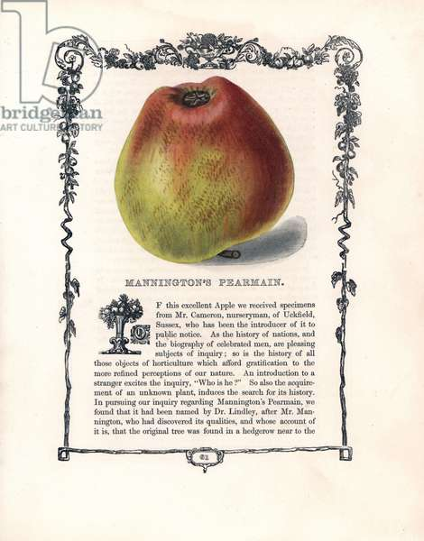 "Common apple, variety Pearmain from Mannington. Lithograph by Benjamin Maund (1790-1863) published in The Fruitist, London, England, 1850. Mannington's Pearmain apple, Malus domestica. Handcoloured glyphograph from Benjamin Maund's """" The Fruitist,"""" London, 1850, Groombridge and Sons."