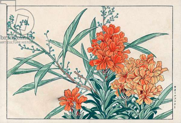 """Yellow giroflee, or ravenelle, carafee or even violier. Wallflower, Cheiranthus cheiri, Erysimum. Handcoloured woodblock print from Konan Tanigami's """""""" Seiyou Sokazufu"""""""" (Pictorial Album of Western Plants and Flowers: Spring), Unsodo, Kyoto, 1917. Tanigami (1879-1928) depicted 125 varieties of garden plants through the four seasons."""