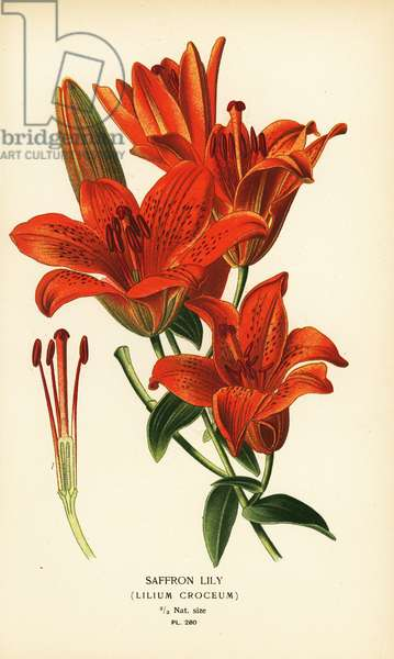 Saffron lily, Lilium croceum. Chromolithograph from an illustration by Desire Bois from Edward Step's Favourite Flowers of Garden and Greenhouse, Frederick Warne, London, 1896.
