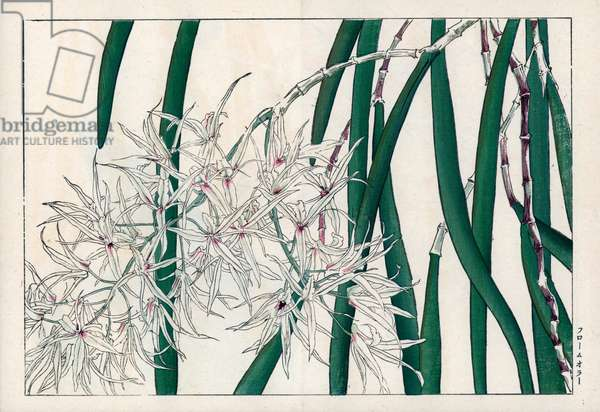 """White orchid. White flowered orchid. Handcoloured woodblock print from Konan Tanigami's """""""" Seiyou Sokazufu"""""""" (Pictorial Album of Western Plants and Flowers: Autumn Winter), Unsodo, Kyoto, 1917. Tanigami (1879-1928) depicted 125 varieties of garden plants through the four seasons."""