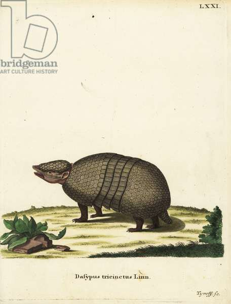 Brazilian three-banded armadillo, Tolypeutes tricinctus. Dasypus tricinctus Linn. Handcoloured copperplate engraving by Tyroff from Johann Christian Daniel Schreber's Animal Illustrations after Nature, or Schreber's Fantastic Animals, Erlangen, Germany, 1775.