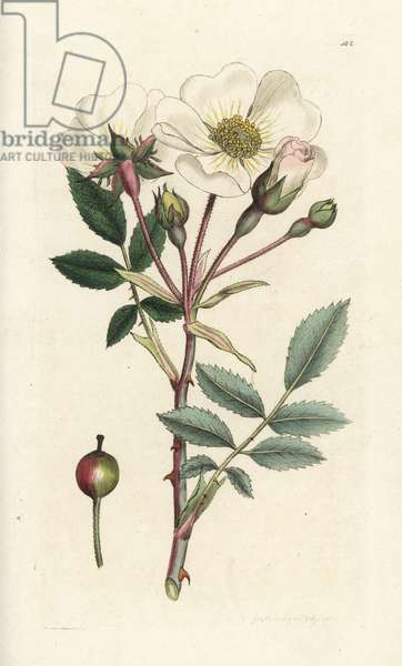 White dog-rose, Rosa arvensis. Handcoloured copperplate engraving by James Sowerby from James Smith's English Botany, London, 1794.