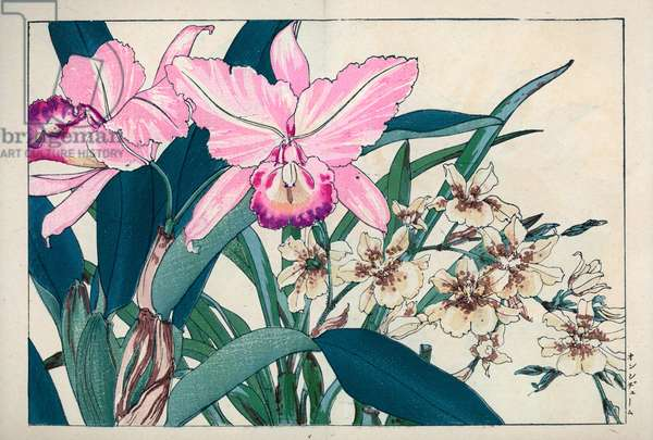 """Variety of orchids, from Central and South America. Oncidium and Laelia anceps orchids. Handcoloured woodblock print from Konan Tanigami's """""""" Seiyou Sokazufu"""""""" (Pictorial Album of Western Plants and Flowers: Autumn Winter), Unsodo, Kyoto, 1917. Tanigami (1879-1928) depicted 125 varieties of garden plants through the four seasons."""