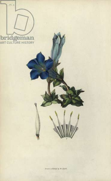 """Stemless gentian, Gentiana acaulis. Handcoloured botanical illustration drawn and engraved by William Clark from Richard Morris's """"Flora Conspicua"""" London, Longman, Rees, 1826. William Clark was former draughtsman to the London Horticultural Society and illustrated many botanical books in the 1820s and 1830s."""