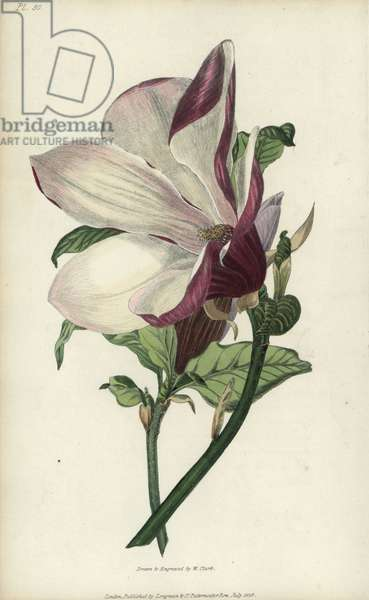 """Purple magnolia tree, Magnolia purpurea. Handcoloured botanical illustration drawn and engraved by William Clark from Richard Morris's """"Flora Conspicua"""" London, Longman, Rees, 1826. William Clark was former draughtsman to the London Horticultural Society and illustrated many botanical books in the 1820s and 1830s."""