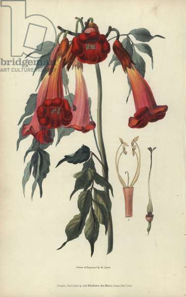 """Ash-leaved trumpet flower, Campsis radicans. Handcoloured botanical illustration drawn and engraved by William Clark from Richard Morris's """"Flora Conspicua"""" London, Longman, Rees, 1826. William Clark was former draughtsman to the London Horticultural Society and illustrated many botanical books in the 1820s and 1830s."""