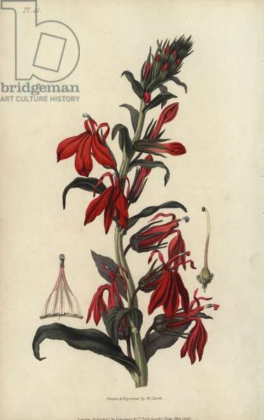 """Cardinal flower, Lobelia cardinalis. Handcoloured botanical illustration drawn and engraved by William Clark from Richard Morris's """"Flora Conspicua"""" London, Longman, Rees, 1826. William Clark was former draughtsman to the London Horticultural Society and illustrated many botanical books in the 1820s and 1830s."""