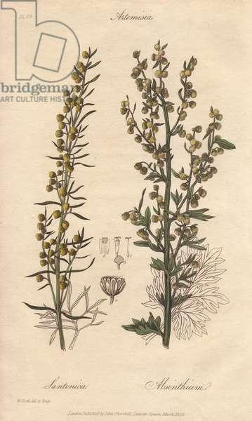 Levant wormseed, Artemisia cina, and ground wormwood, Artemisia absinthium